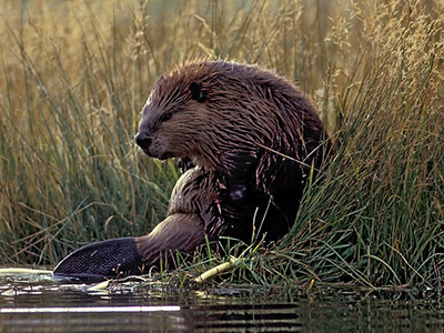 beaver sitting in tall grass by the edge of a river