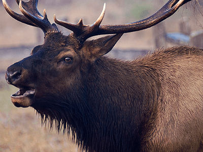 elk with large horns with mouth open