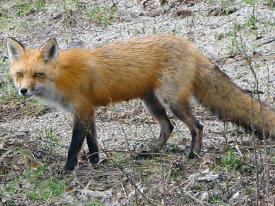 small red fox with black legs